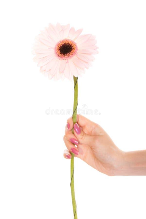 Mano umana che tiene il fiore rosa della margherita della gerbera immagine stock libera da diritti