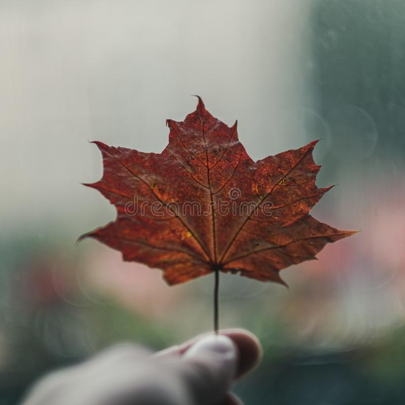 mano umana che tiene la foglia colorata dell'albero di autunno immagine stock libera da diritti