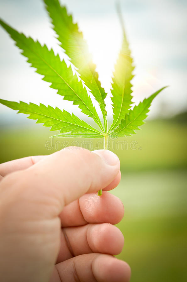 Mano umana che tiene una foglia della cannabis fotografie stock