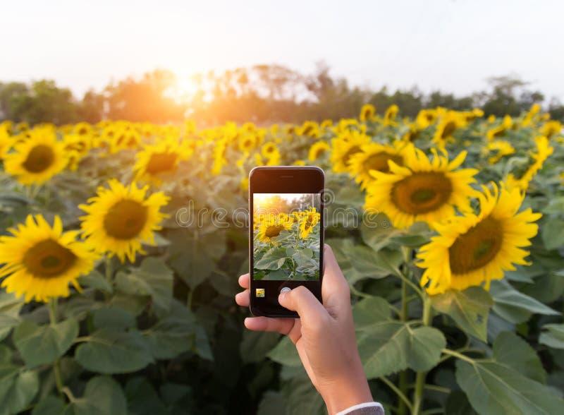 Mano usando el teléfono que toma el campo del girasol de la belleza de la foto foto de archivo