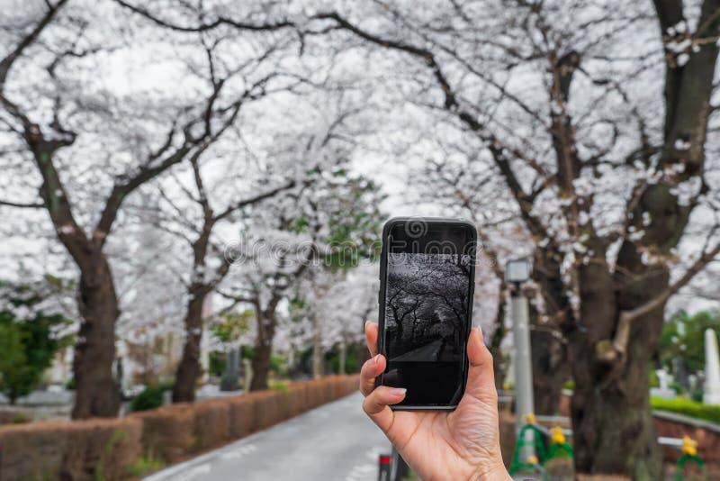 Mano usando smartphone a tomar una foto de las flores de cerezo de la primavera foto de archivo