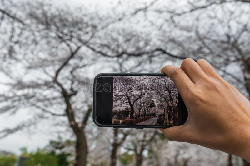 Mano usando smartphone a tomar una foto de las flores de cerezo de la primavera imagen de archivo