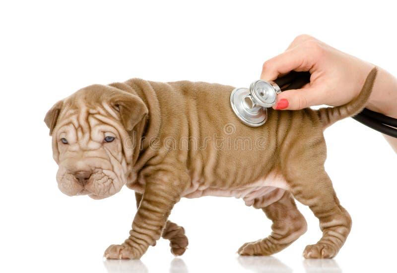 Mano veterinaria che esamina un cucciolo di cane di sharpei. immagine stock libera da diritti
