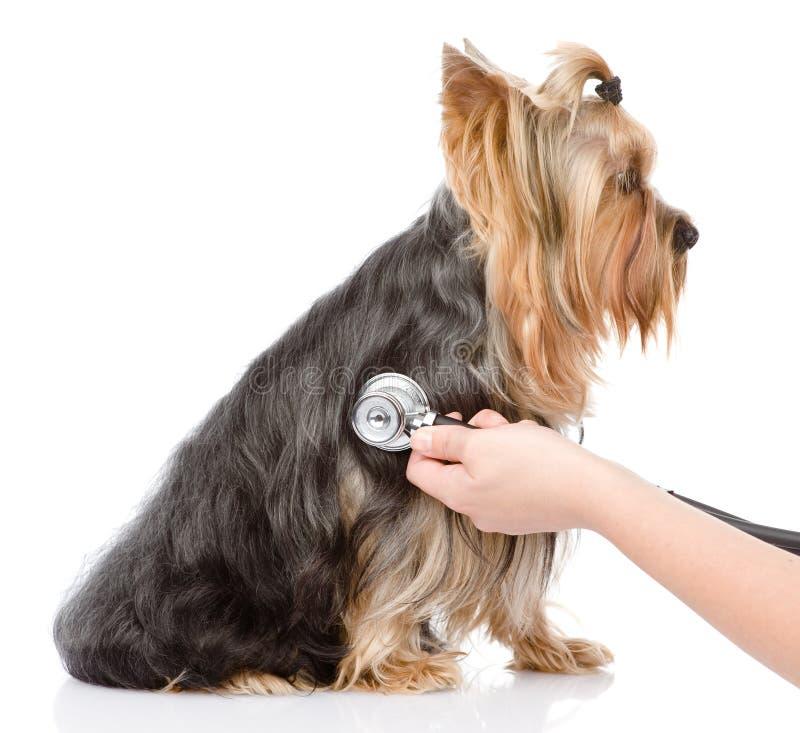Mano veterinaria che esamina un cucciolo Isolato su backgroun bianco fotografia stock libera da diritti