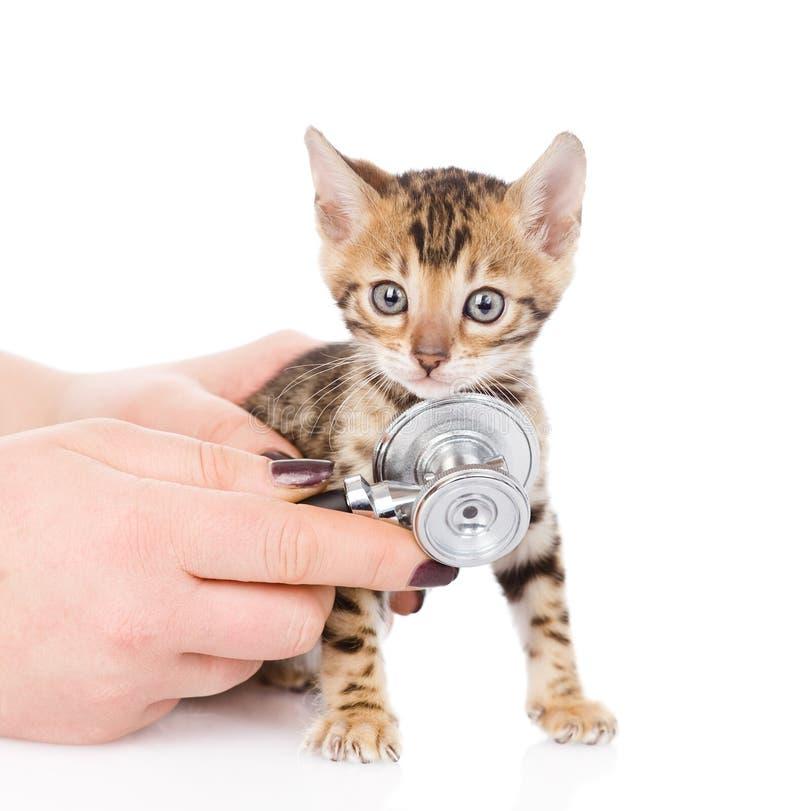 Mano veterinaria che esamina un gattino del Bengala Isolato immagine stock