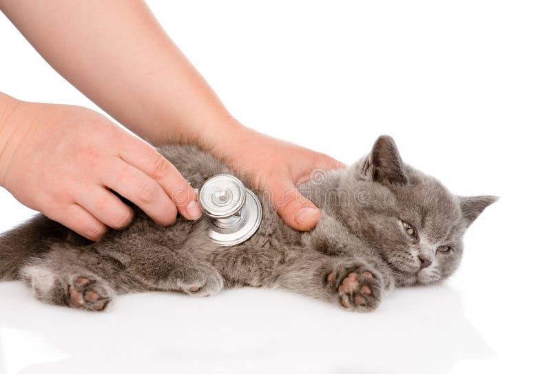 Mano veterinaria che esamina un gattino Isolato su bianco fotografie stock