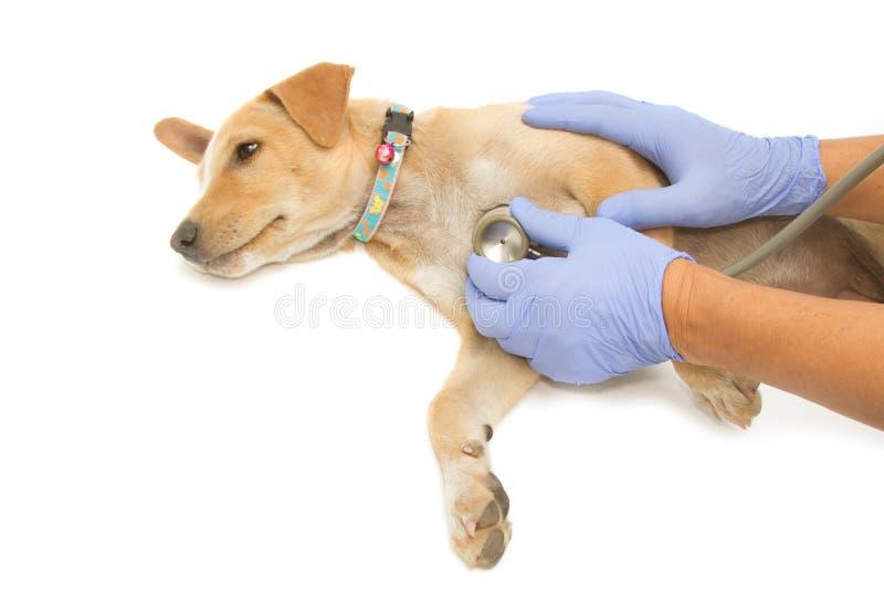 Mano veterinaria que examina un perrito fotografía de archivo libre de regalías