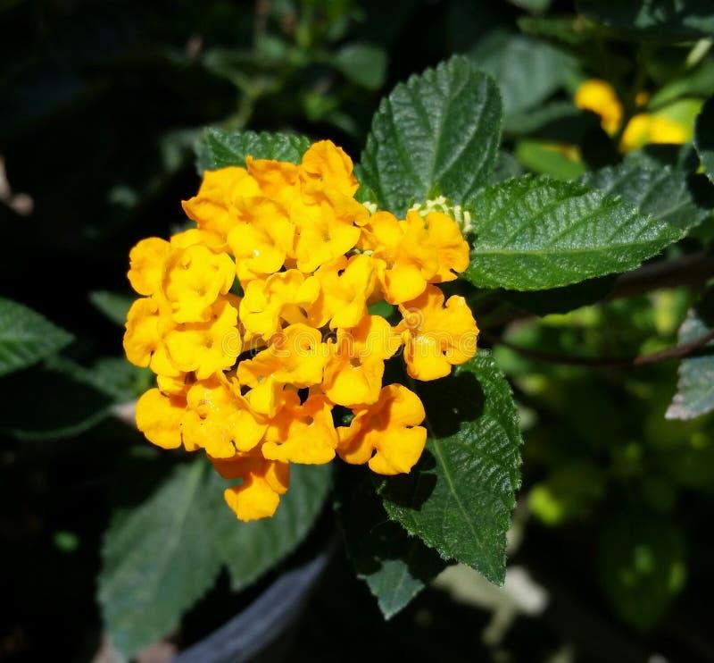 Manojo amarillo de la flor imagen de archivo