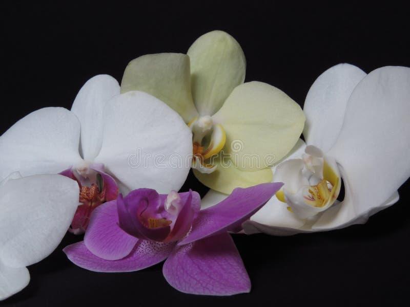 Manojo blanco, amarillo, y púrpura del flor de la floración de la orquídea en fondo negro Ramo elegante de la orquídea imagen de archivo
