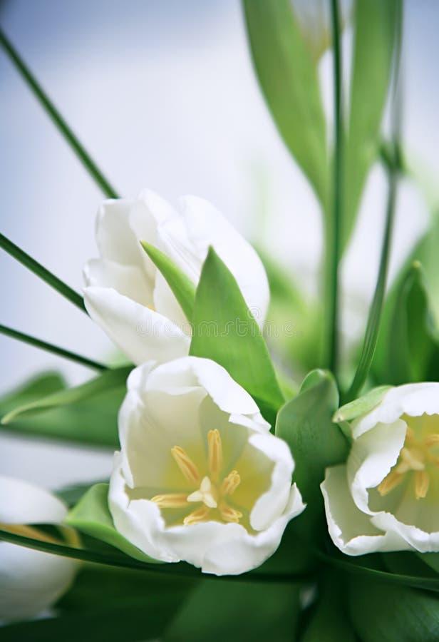 Manojo blanco de los tulipanes foto de archivo
