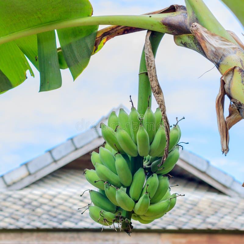 Manojo crudo del plátano en árbol de plátano foto de archivo
