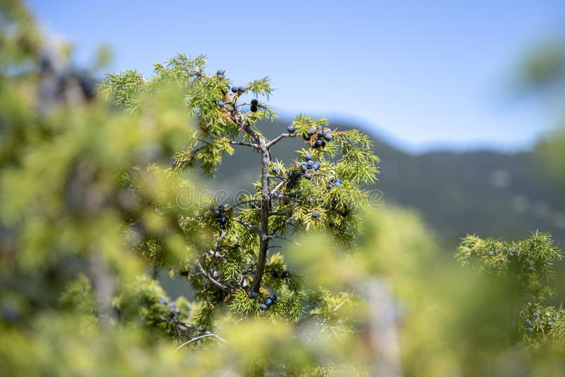 Manojo de bayas de enebro en una rama verde en otoño imagenes de archivo