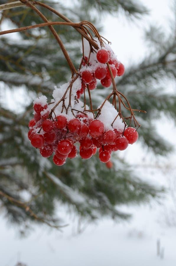 Manojo de bayas rojas en la nieve imagen de archivo
