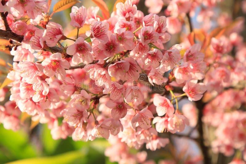 Manojo de flor de cerezo rosada imagen de archivo libre de regalías