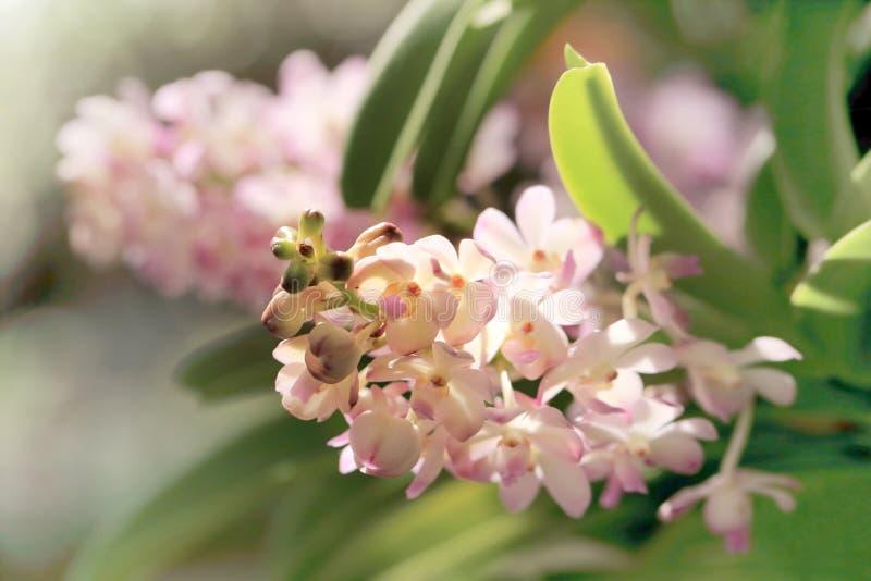 Manojo de flor de la orquídea de Ascocentrum del rosa en colores pastel, de foco entonado y suave del dulce imagen de archivo libre de regalías