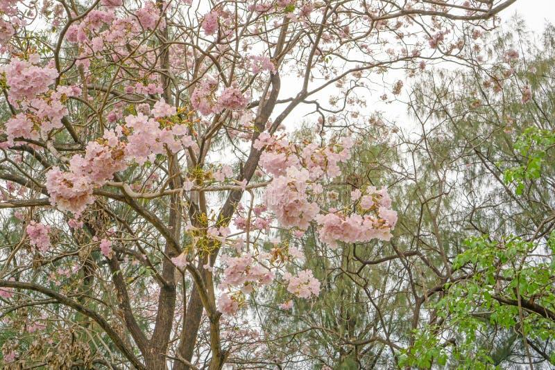 Manojo de flor rosado del ?rbol de florecimiento del arbusto de la trompeta en primavera en ramas y la ramita verdes de las hojas imagenes de archivo