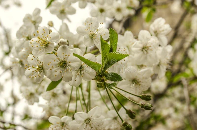 Manojo de flores blancas delicadas de la cereza imagenes de archivo