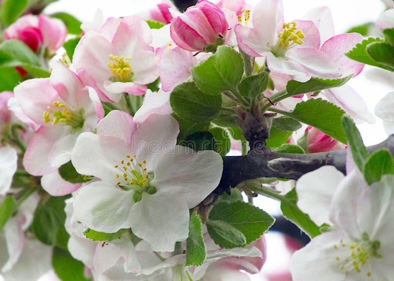 Manojo de flores del domestica del Malus del manzano en primavera Fondo suave de la visi?n macra imagen de archivo libre de regalías