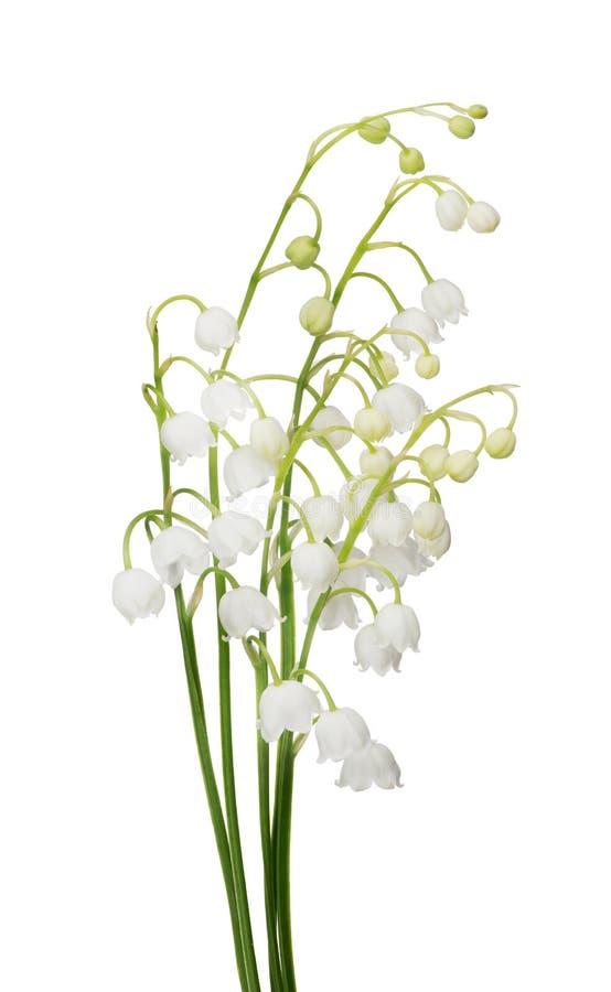 Manojo de flores del lirio de los valles en blanco fotografía de archivo