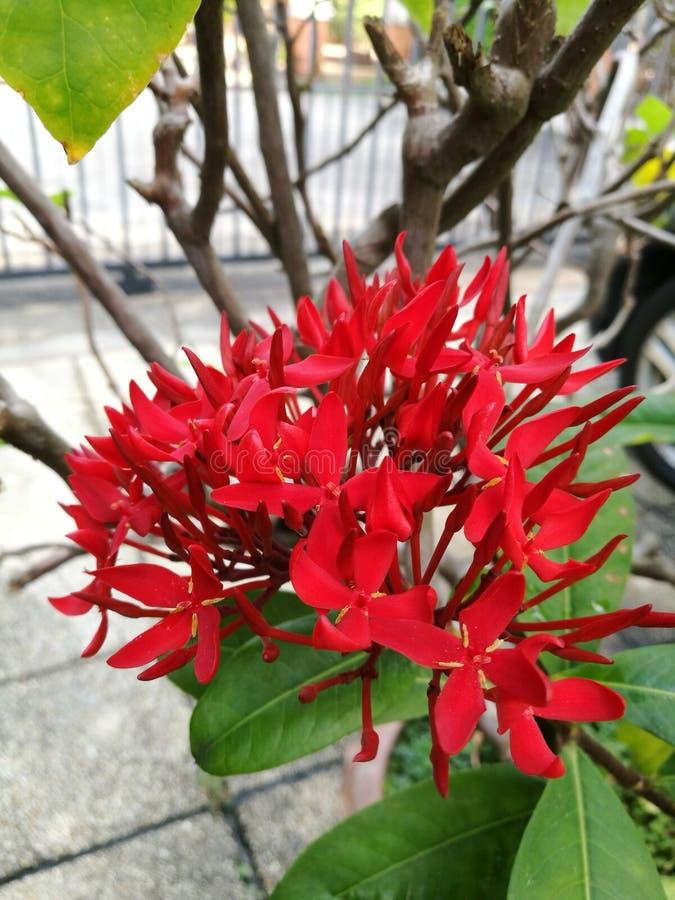 Manojo de flores rojas del ixora imágenes de archivo libres de regalías