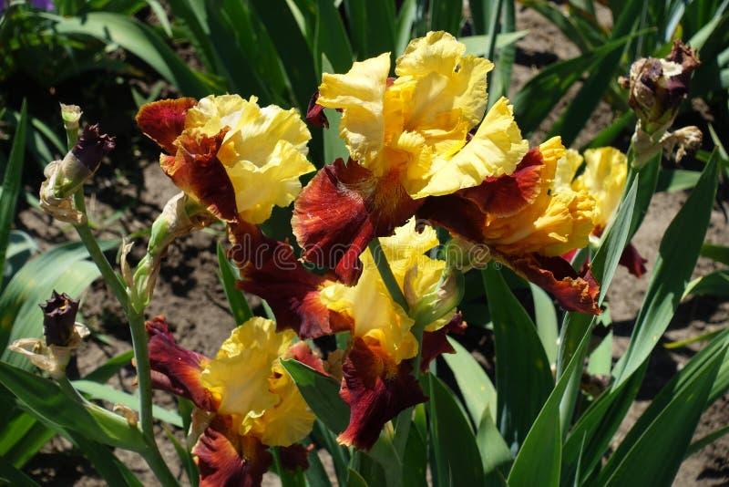 Manojo de flores rojas y amarillas del iris barbudo fotografía de archivo libre de regalías