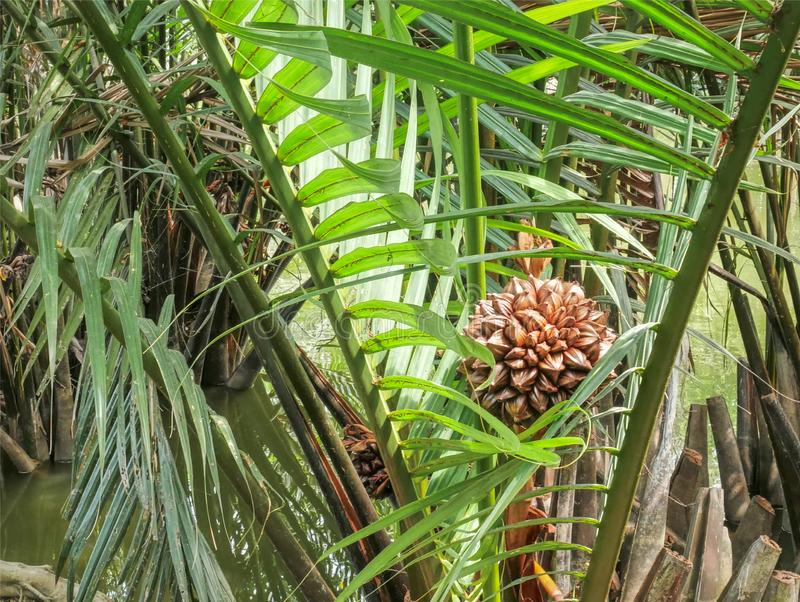 Manojo de fruta de la palma en el medio de ramas de palmera en el pantano imagenes de archivo