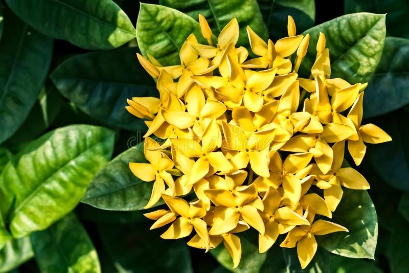 Download Manojo De Ixora Amarillo, Jazmín De Indio Del Oeste (Ixora, Spp ) Foto de archivo - Imagen de verde, floración: 41902148