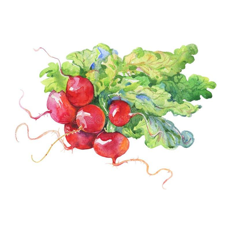Manojo de la acuarela de rábano con el top Verduras aisladas frescas dibujadas mano Raíz de la pintura, ejemplo de la hoja ilustración del vector