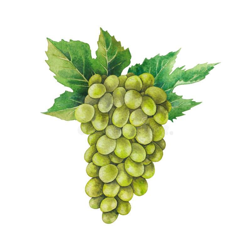 Manojo de la acuarela de uvas blancas adornadas con las hojas imágenes de archivo libres de regalías