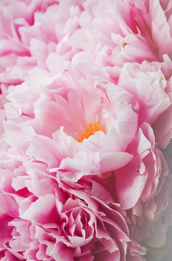 Manojo de la belleza de flores rosadas de la peonía de las peonías Fondo floral Ramo precioso de la primavera o del verano Concep fotos de archivo libres de regalías