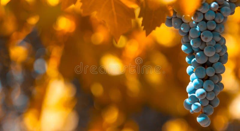 Manojo de la uva, foco muy bajo imagen de archivo libre de regalías