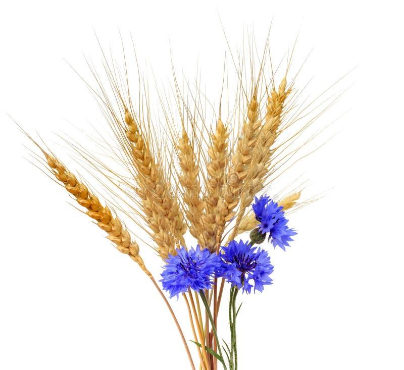 Manojo de oídos de oro del trigo y de acianos azules en el aislante blanco imagen de archivo