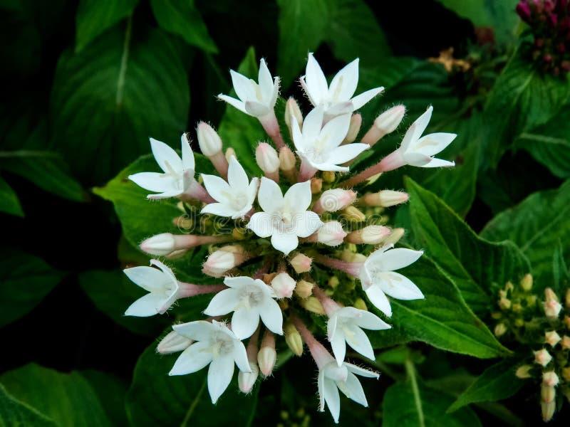 Manojo de pequeño flor hermoso de las flores blancas imágenes de archivo libres de regalías