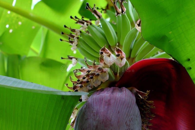 Manojo de plátano con la flor fotografía de archivo libre de regalías