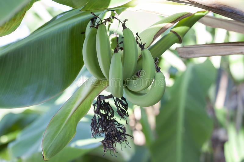 Manojo de plátano crudo en árbol con luz del sol foto de archivo