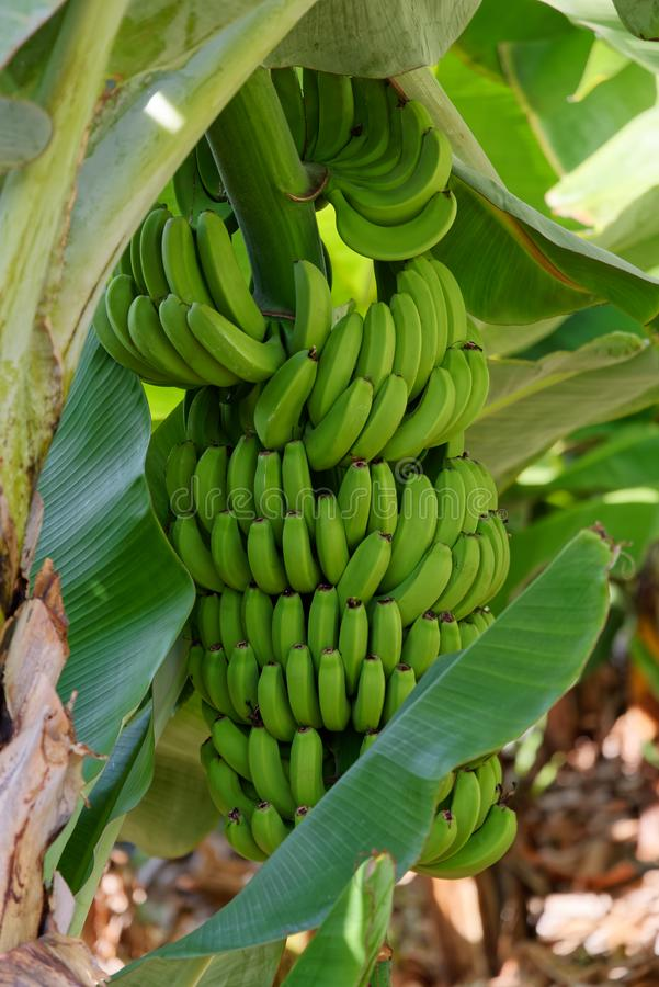 Manojo de plátanos verdes inmaduros que cuelgan en un árbol fotos de archivo