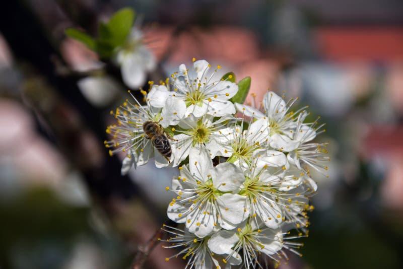 Manojo de rama de Plum Flowers On A con la abeja imagenes de archivo
