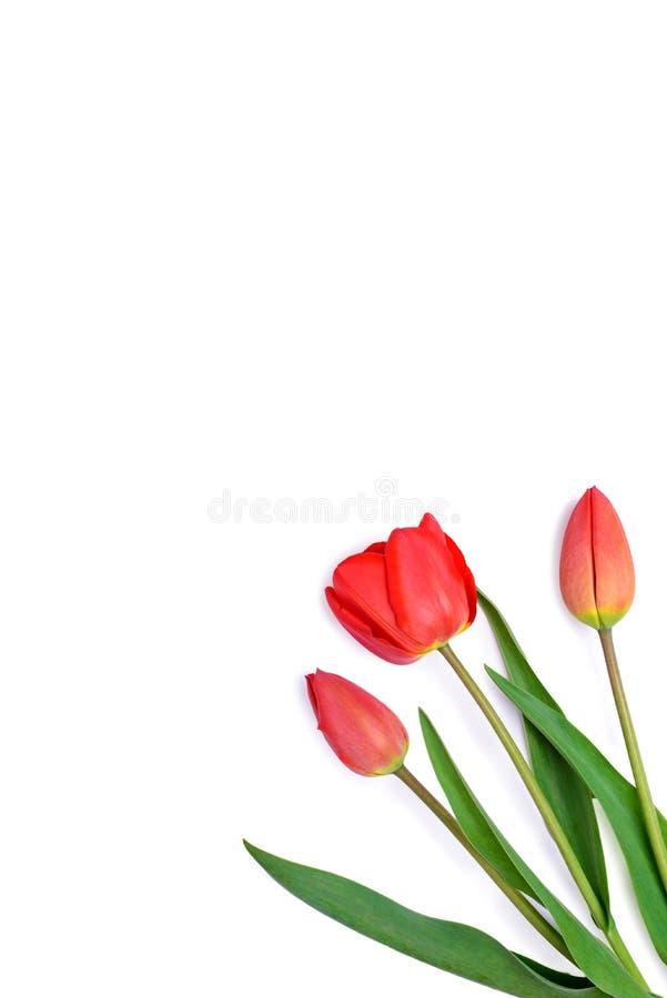 Manojo de ramo rojo de los tulipanes aislado en el fondo blanco imágenes de archivo libres de regalías