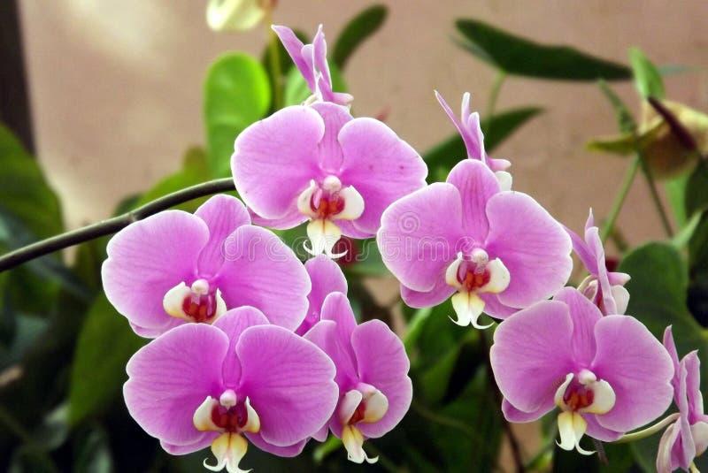 Manojo de tiro violeta exótico de la flor de la orquídea de polilla en Mahabaleshwar, la India fotografía de archivo libre de regalías