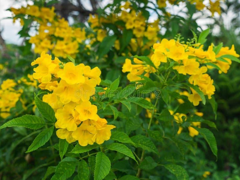 Manojo de Trompeta-flores amarillas imagen de archivo