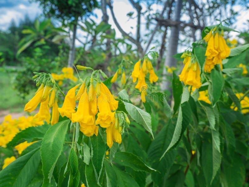 Manojo de Trompeta-flores Wither del amarillo en el árbol imagenes de archivo