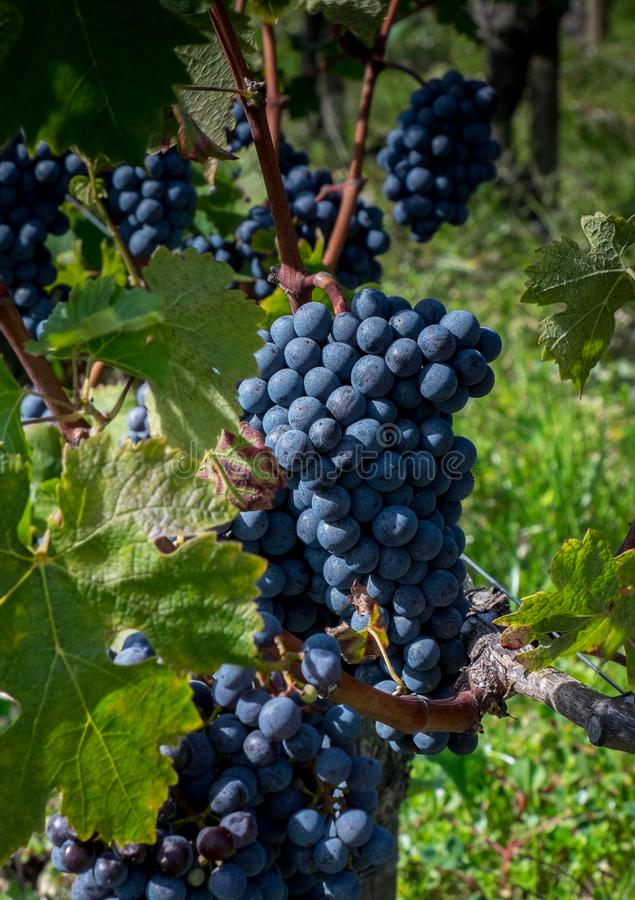 Manojo de uva de Cabernet-Sauvignon en Pauillac, Francia foto de archivo libre de regalías