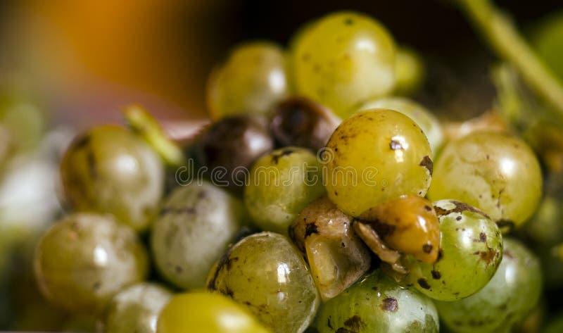 Manojo de uvas blancas en un fondo oscuro Racimo de uvas Foco selectivo Uvas de Absheron, Azerbaijan fotografía de archivo libre de regalías