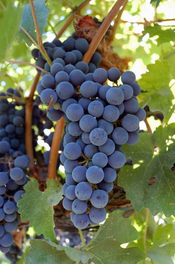 Manojo de uvas de Lambrusco imágenes de archivo libres de regalías