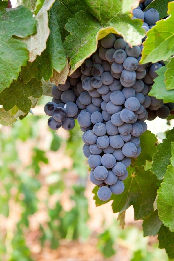 Manojo de uvas de vino fotografía de archivo libre de regalías