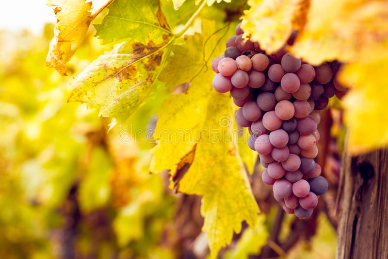 Manojo de uvas de vino rojo imágenes de archivo libres de regalías