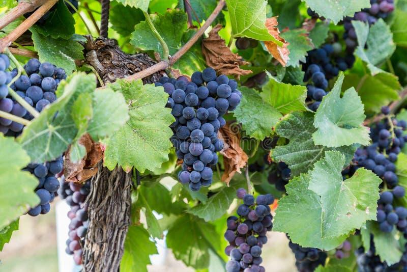 Manojo de uvas de vino rojo en un árbol en un viñedo fotos de archivo libres de regalías