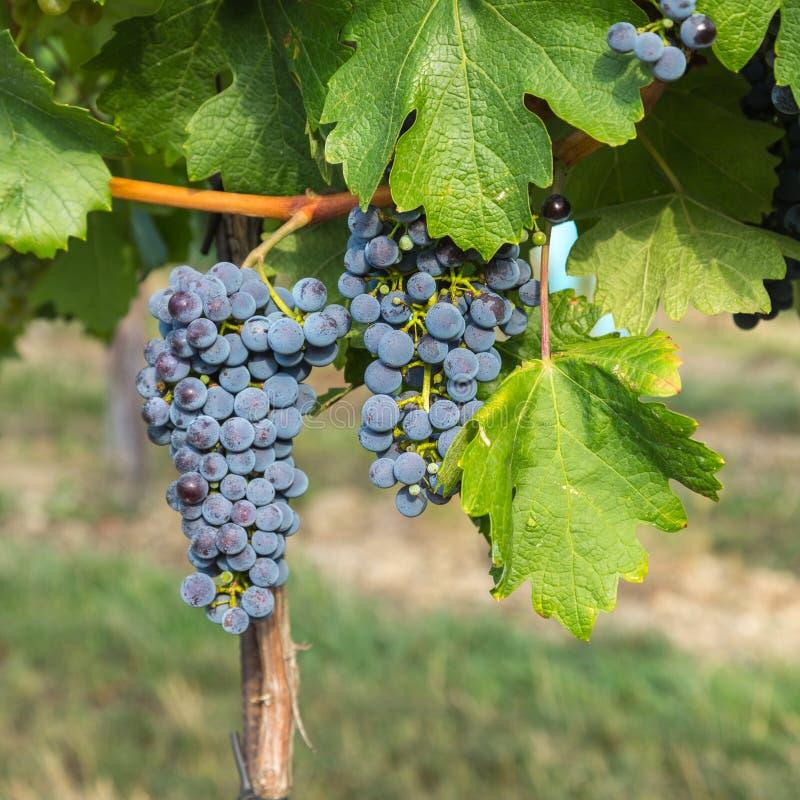 Manojo de uvas de vino rojo en un árbol en un viñedo imagen de archivo