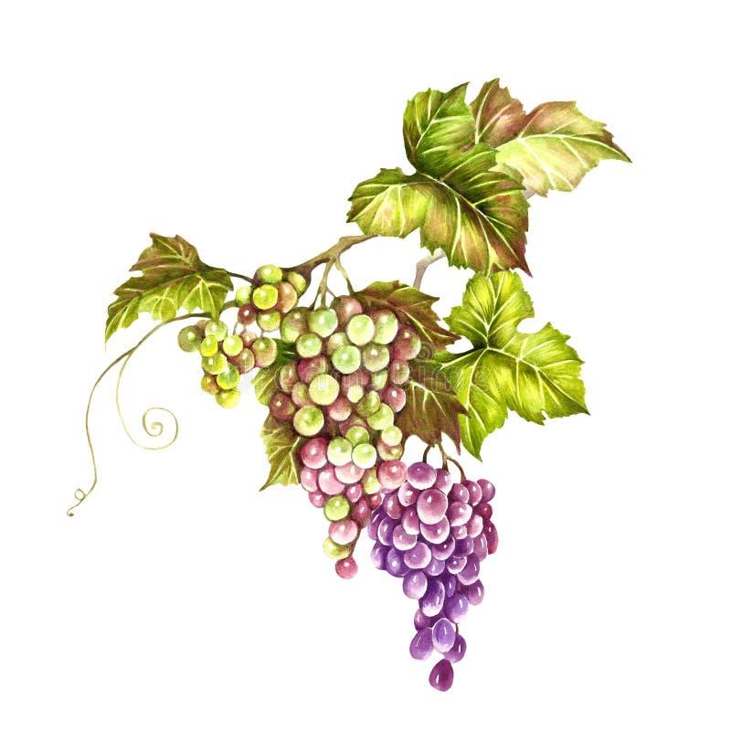 Manojo de uvas Ejemplo de la acuarela del drenaje de la mano Ejemplo de la acuarela del drenaje de la mano libre illustration