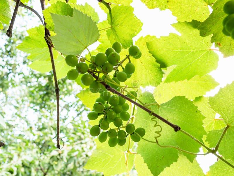manojo de uvas entre las hojas en viñedo iluminado por el sol imagenes de archivo